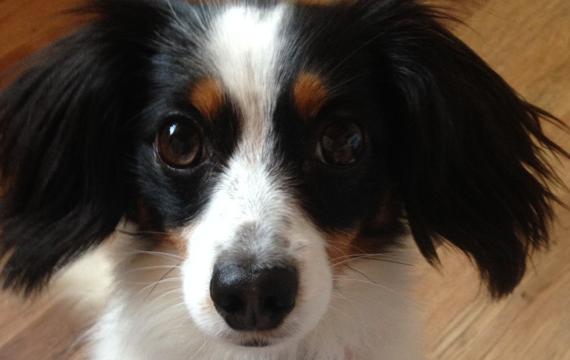 Joey, a black and white daschund/papillion cross
